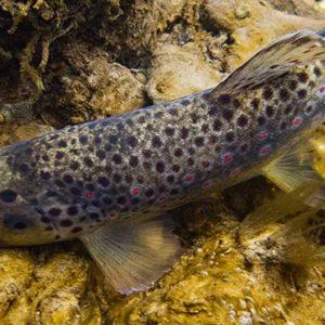 Ouverture de la truite fario et de la pêche en 1ère catégorie