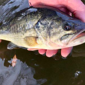 Déversements de black-bass sur l'étang de Gouzolles