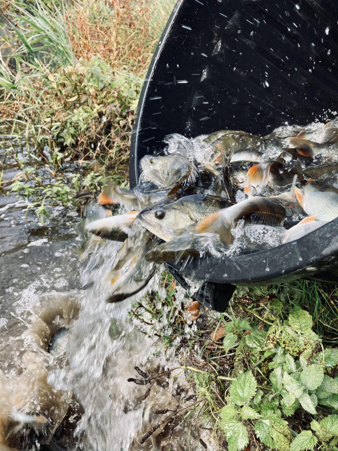Déversements de poissons sur les parcours de l'AAPPMA de Saint Pourçain sur Sioule